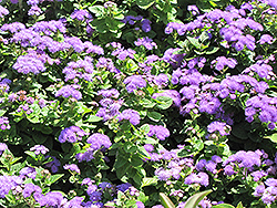 Hawaii Blue Flossflower (Ageratum 'Hawaii Blue') at Canadale Nurseries