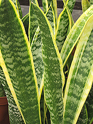 Striped Snake Plant (Sansevieria trifasciata 'Laurentii') at Canadale Nurseries
