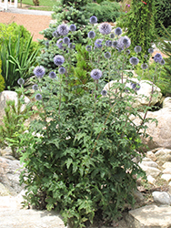 Veitch's Blue Globe Thistle (Echinops ritro 'Veitch's Blue') at Canadale Nurseries