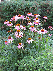 Purple Coneflower (Echinacea purpurea) at Canadale Nurseries
