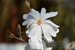 Star Magnolia (Magnolia stellata) at Canadale Nurseries