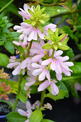 Whirlwind® Pink Fan Flower (Scaevola aemula 'Whirlwind Pink') at Canadale Nurseries