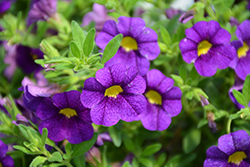 Superbells® Blue Calibrachoa (Calibrachoa 'Superbells Blue') at Canadale Nurseries