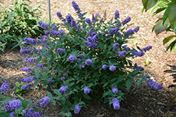 Lo And Behold® Blue Chip Dwarf Butterfly Bush (Buddleia 'Lo And Behold Blue Chip') at Canadale Nurseries