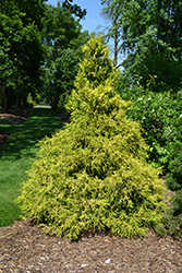 Golden Mop Falsecypress (Chamaecyparis pisifera 'Golden Mop') at Canadale Nurseries