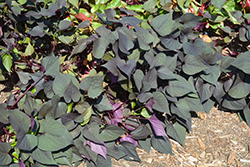 Black Heart Sweet Potato Vine (Ipomoea batatas 'Black Heart') at Canadale Nurseries