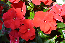 SunPatiens Compact Fire Red New Guinea Impatiens (Impatiens 'SAMKIMP039') at Canadale Nurseries