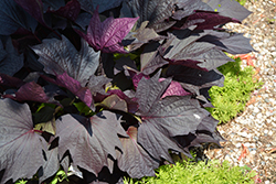 Sweet Caroline Bewitched After Midnight™ Sweet Potato Vine (Ipomoea batatas 'NCORNSP-020BWAM') at Canadale Nurseries