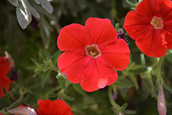 Supertunia® Really Red Petunia (Petunia 'Sunremi') at Canadale Nurseries