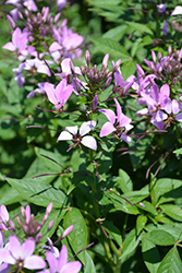 Pequena Rosalita® Spider Flower (Cleome 'INCLENINRO') at Canadale Nurseries