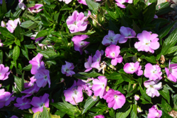 Infinity® Lavender New Guinea Impatiens (Impatiens hawkeri 'Infinity Lavender') at Canadale Nurseries