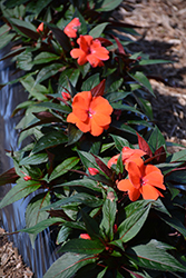 Magnum Orange New Guinea Impatiens (Impatiens 'Magnum Orange') at Canadale Nurseries