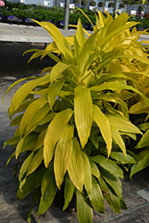 Limelight Dracaena (Dracaena fragrans 'Limelight') at Canadale Nurseries