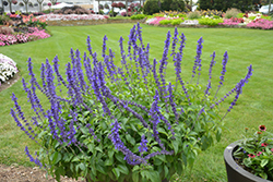 Rockin'® Playin' The Blues® Sage (Salvia 'Balsamispim') at Canadale Nurseries