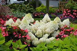Little Lime® Hydrangea (Hydrangea paniculata 'Jane') at Canadale Nurseries