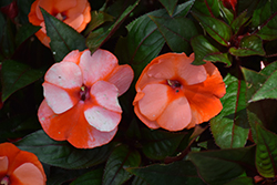 Infinity® Orange Frost New Guinea Impatiens (Impatiens hawkeri 'Visinforfr') at Canadale Nurseries