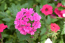 Superbena® Pink Shades Verbena (Verbena 'USBENAL20') at Canadale Nurseries
