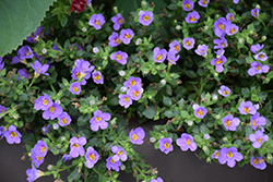 Snowstorm® Blue Bacopa (Sutera cordata 'Snowstorm Blue') at Canadale Nurseries