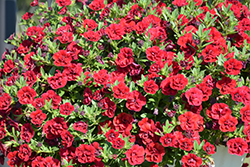 Superbells® Double Ruby Calibrachoa (Calibrachoa 'USCAL83901') at Canadale Nurseries