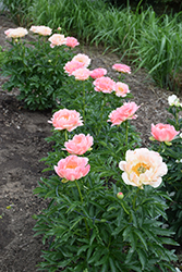 Coral Sunset Peony (Paeonia 'Coral Sunset') at Canadale Nurseries