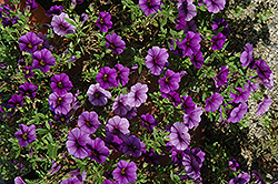 Callie® Dark Blue Calibrachoa (Calibrachoa 'Callie Dark Blue') at Canadale Nurseries