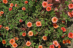 Callie® Orange Calibrachoa (Calibrachoa 'Callie Orange') at Canadale Nurseries