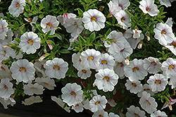 Aloha Royal White Calibrachoa (Calibrachoa 'Aloha Royal White') at Canadale Nurseries