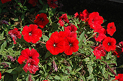 Surfinia® Deep Red Petunia (Petunia 'Surfinia Deep Red') at Canadale Nurseries