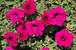 Surfinia® Giant Purple Petunia (Petunia 'Surfinia Giant Purple') at Canadale Nurseries