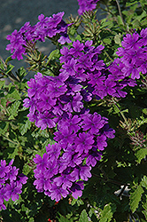 Superbena® Dark Blue Verbena (Verbena 'Superbena Dark Blue') at Canadale Nurseries