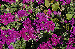 Lanai® Blue Verbena (Verbena 'Lanai Blue') at Canadale Nurseries