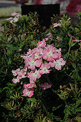 Aztec Light Pink Verbena (Verbena 'Aztec Light Pink') at Canadale Nurseries
