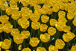 Golden Appeldoorn Tulip (Tulipa 'Golden Appeldoorn') at Canadale Nurseries