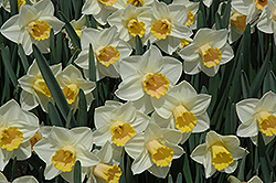 Salome Daffodil (Narcissus 'Salome') at Canadale Nurseries