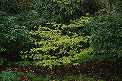 Golden Shadow Pagoda Dogwood (Cornus alternifolia 'Wstackman') at Canadale Nurseries