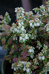 Jelly Bean® Blueberry (Vaccinium 'ZF06-179') at Canadale Nurseries