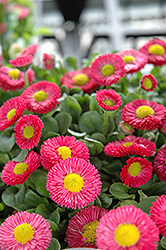 Speedstar Red English Daisy (Bellis perennis 'Speedstar Red') at Canadale Nurseries