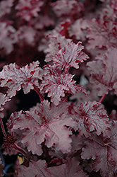 Blackberry Crisp Coral Bells (Heuchera 'Blackberry Crisp') at Canadale Nurseries