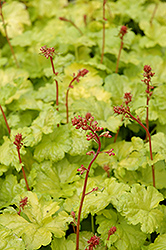 Sweet Tart Coral Bells (Heuchera 'Sweet Tart') at Canadale Nurseries