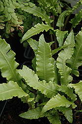 Crested Hart's Tongue Fern (Phyllitis scolopendrium 'Cristata') at Canadale Nurseries