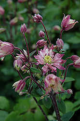 Clementine Rose Columbine (Aquilegia vulgaris 'Clementine Rose') at Canadale Nurseries