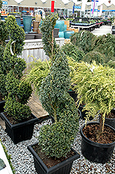 Green Mountain Boxwood (spiral form) (Buxus 'Green Mountain (spiral)') at Canadale Nurseries