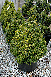 Green Mountain Boxwood (pyramid form) (Buxus 'Green Mountain (pyramid)') at Canadale Nurseries