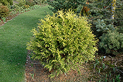 Golden Globe Arborvitae (Thuja occidentalis 'Golden Globe') at Canadale Nurseries