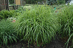 Porcupine Grass (Miscanthus sinensis 'Strictus') at Canadale Nurseries