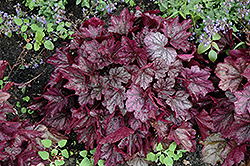 Dolce® Blackberry Ice Coral Bells (Heuchera 'Blackberry Ice') at Canadale Nurseries