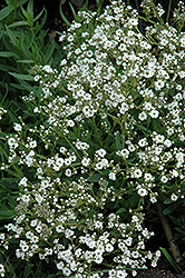Festival™ Star Baby's Breath (Gypsophila paniculata 'Festival Star') at Canadale Nurseries
