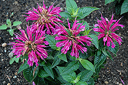 Pardon My Purple Beebalm (Monarda didyma 'Pardon My Purple') at Canadale Nurseries