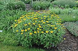 Tuscan Sun False Sunflower (Heliopsis helianthoides 'Tuscan Sun') at Canadale Nurseries