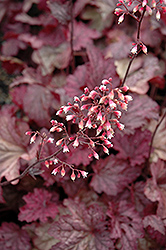 Berry Smoothie Coral Bells (Heuchera 'Berry Smoothie') at Canadale Nurseries